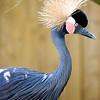 Black African Crowned Crane
