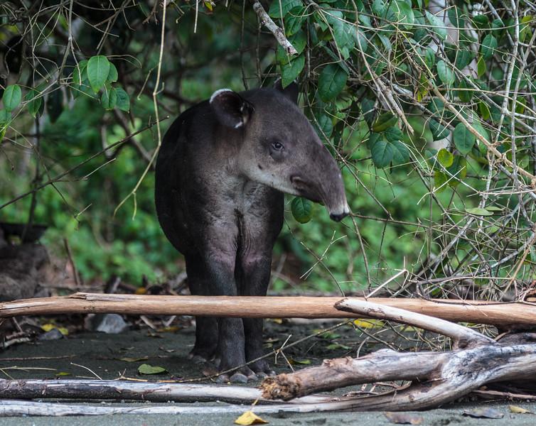 "The"" Tapir""...Corcovado Costa Rica"