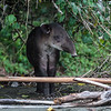 "The"" Tapir""...Corcovado Costa Rica"