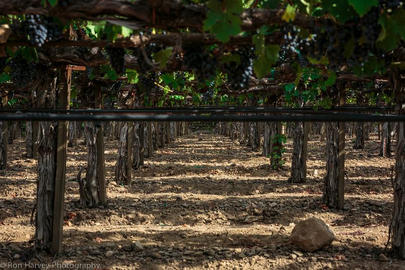 Under the Grape Vine of Merlot.