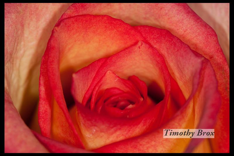 Rose Macros-0865