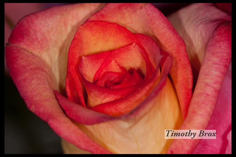 Rose Macros-0863