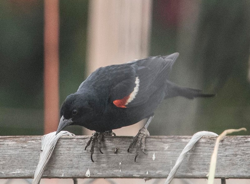 Tricolored Blackbird, adult male