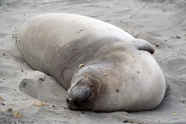 Elephant Seal - Route 1, CA, USA