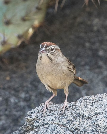 Rufous-crowned Sparrow 2-17-18 San Pasqual