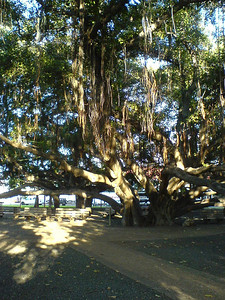I run under the Banyan Tree that has been here since April, 1873