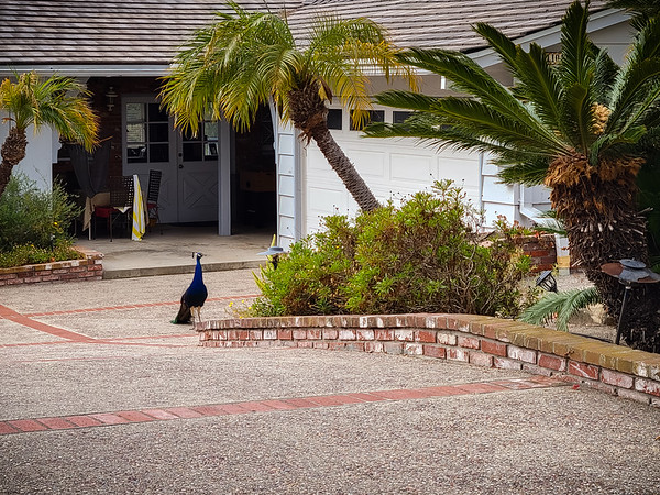 I often see peacocks when I run down Via Coronel...and, when I do, they are usually in front of a different house