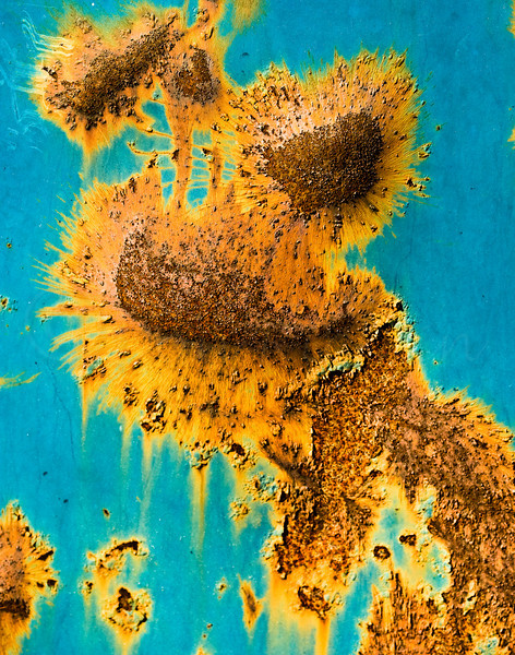 Sunflowers, rust on a dumpster!