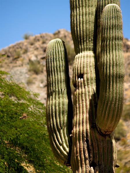 Bird and Saguaro. AZ
