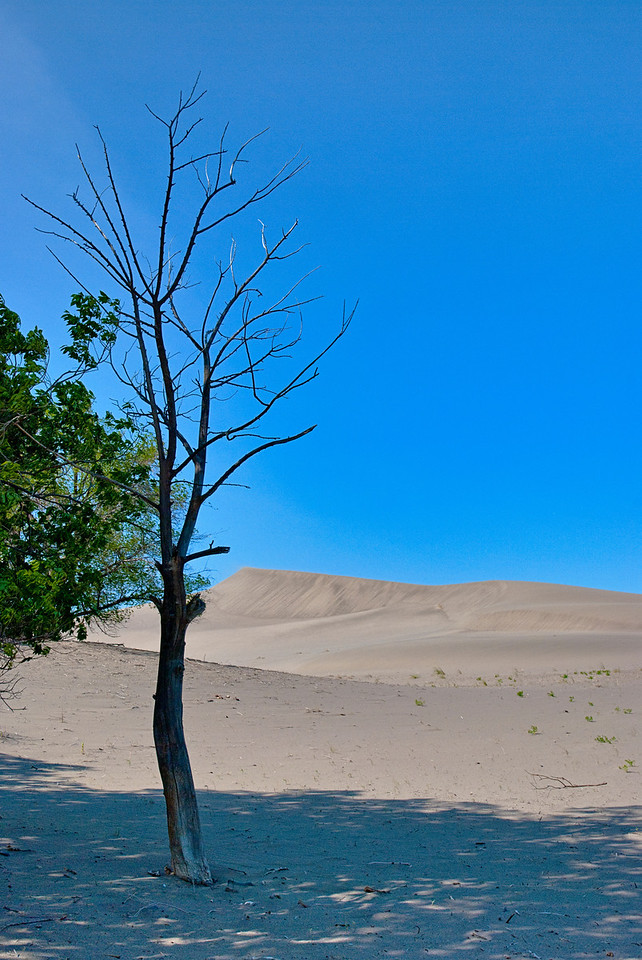 a dead tree in a desert oasis