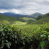 The welcoming hills of tea spread over the Cameron Highlands in Malaysia.