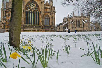 Starting to build the first snowman. I love these daffs in the snow.