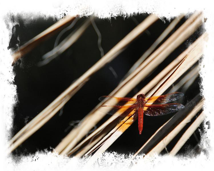 THE LIVING DESERT#2-24crop dragon fly