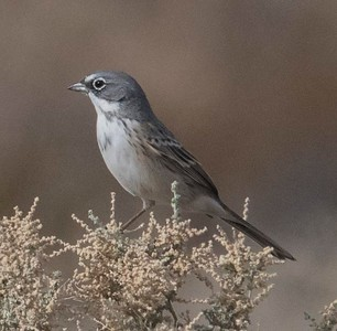 Sagebrush Sparrow 11-14-17 Borrego