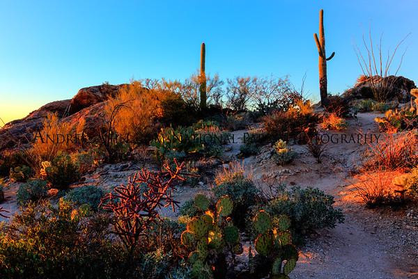 Saguaro Arizona