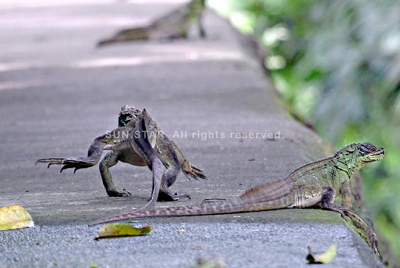 Sailfin lizard2