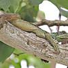 Sailfin lizard1