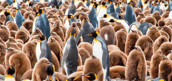 King penguin rookery, South Georgia Island , adolescent penguins. They need to avoid going in water until they lose the brown feathers and replace them with waterproof feathers