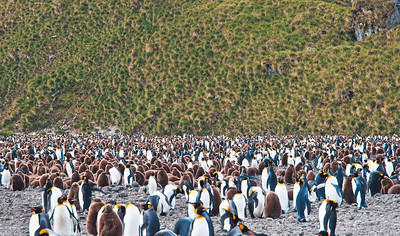 Thousands of penguins in view,King penguin rookery, South Georgia Island , adolescent penguins. They need to avoid going in water until they lose the brown feathers and replace them with waterproof feathers