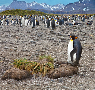King penguin rookery, South Georgia Island