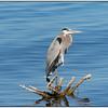 Great Blue Heron,  Sea Wall, Sonny Bono WLA