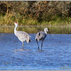 SandHill Cranes, Cibola WLA