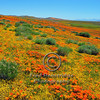 Goldfields and Poppies <br /> <br /> <br /> _