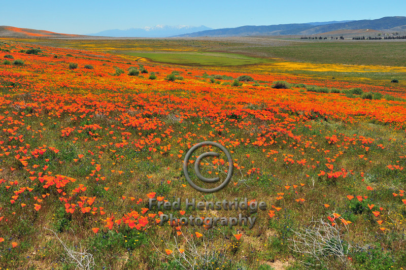 Poppies at the Antelope Valley California Poppy Reserve