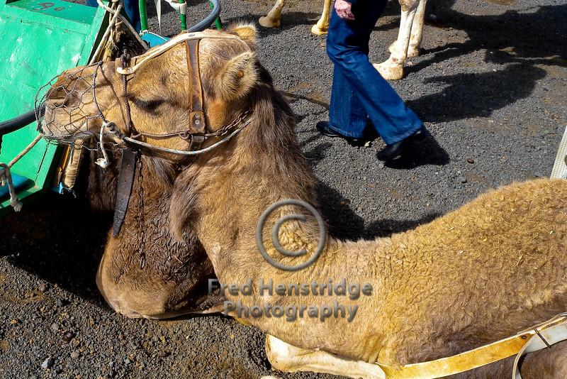 Camel Martín, Lanzarote, Canary Islands