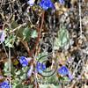Canterbury Bells (Phacelia campanularia)