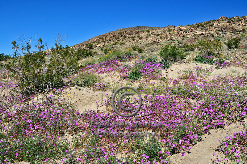 Looking northerly over a field on Sand Verbena from Henderson Canyon Road.