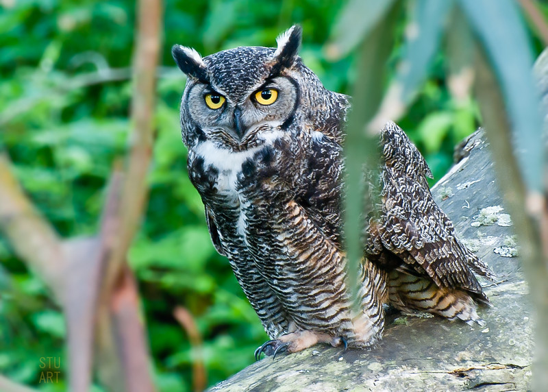 Great Horned Owl #1