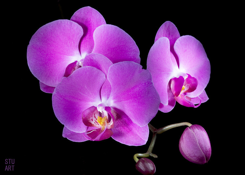 Light Painted Orchids