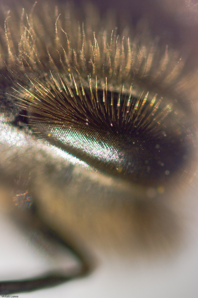 """Alien bee eye"" © Falk Lumo 2008 -- A honey bee's left eye, turned 90°. This photo is shot at ultrahigh magnification (6:1) and reveals 1.5µm detail if scaled full size."
