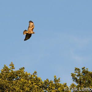 """Kestrel in flight"" © 2012 Falk Lumo