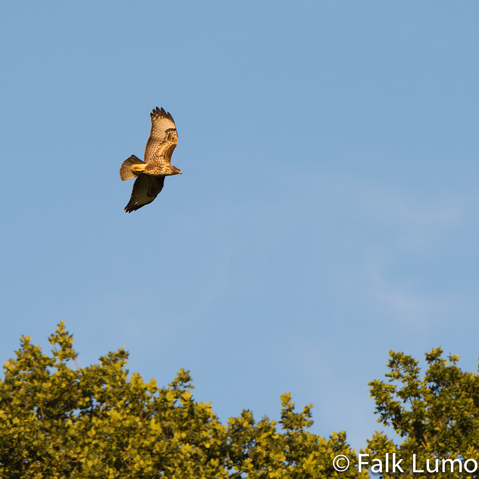 """""""Kestrel in flight"""" © 2012 Falk Lumo  Common kestrel in Bavaria in the wild. Hunting in the evening sun. Probably the same individual as in the 2009 shot.  1:1 crop which means this is a 750 mm equivalent field of view."""