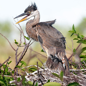 Immature Great Blue Heron, taken at the Wakodahatchee Wetlands, Delray Beach, Florida.