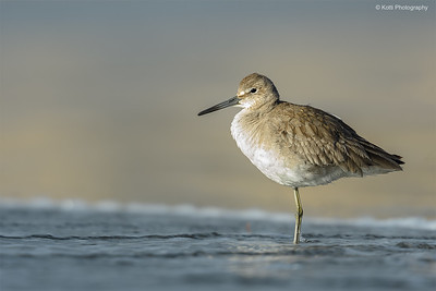 Willet  In Winter Breeding Plumage