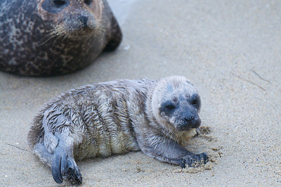 "La Jolla Cove, San Diego.  The local Seal Watch organization named this little one:  ""Rising Sun"""