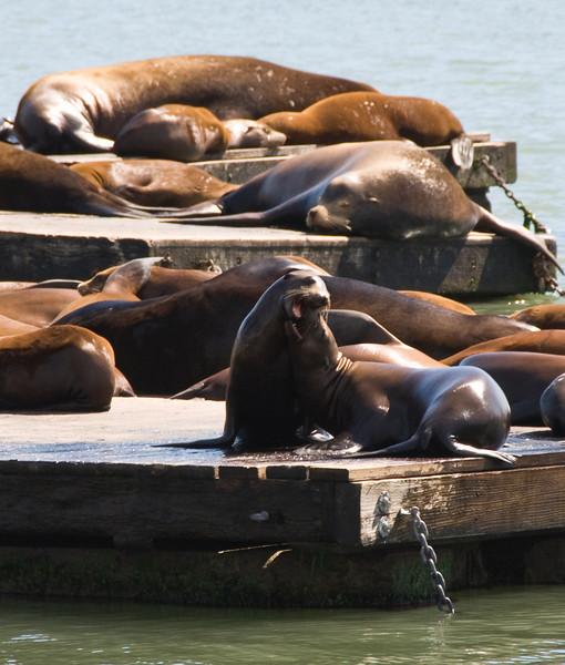 Sea Lions at Pier 39 San Francisco, CA