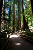 Muir Woods National Monument - just north of San Francisco - Redwood Trees