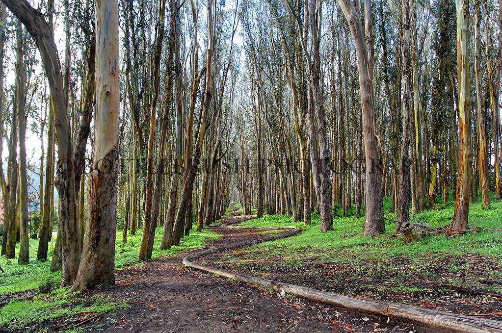 """Wood Line"" in the eucalyptus grove on The Presidio grounds."
