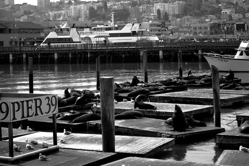 Walruses Hanging Out at Pier 39