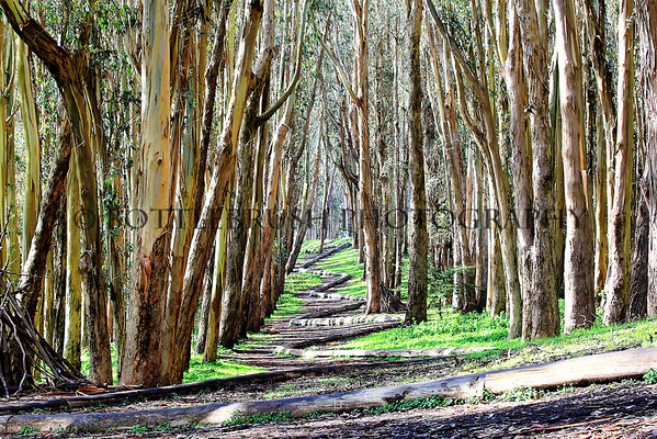 """Wood Line"" in the eucalyptus grove on The Presidio grounds"