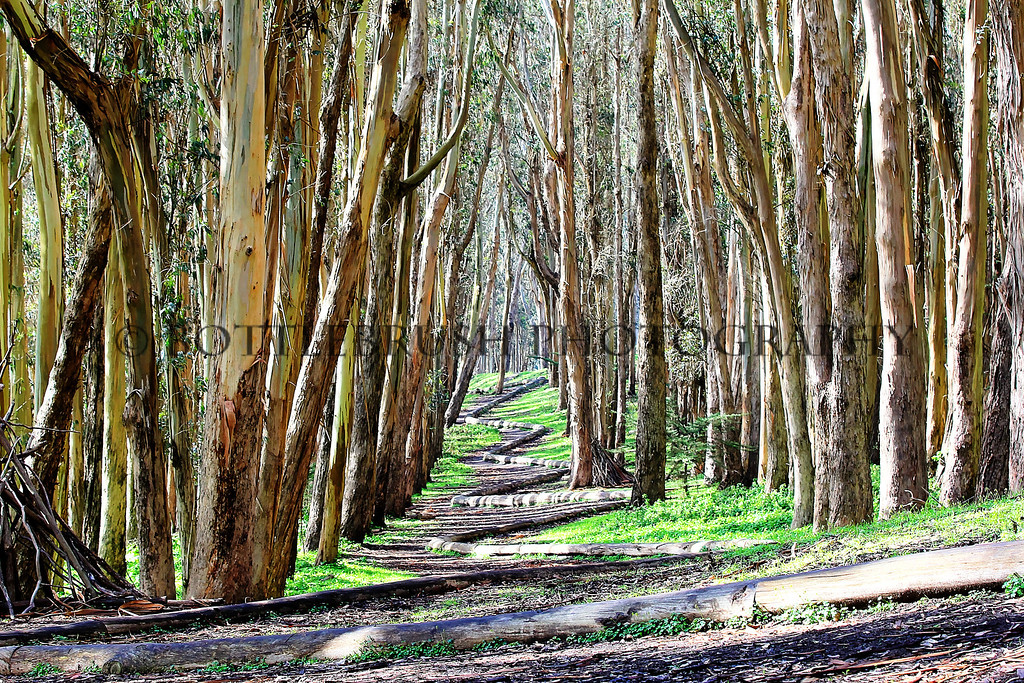 """Wood Line"" in the eucalyptus grove on The Presidio grounds"