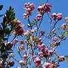 San Franciso Flowering Tree
