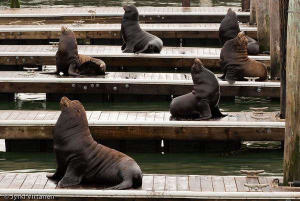 Proud Sea Lions - San Francisco, CA, USA