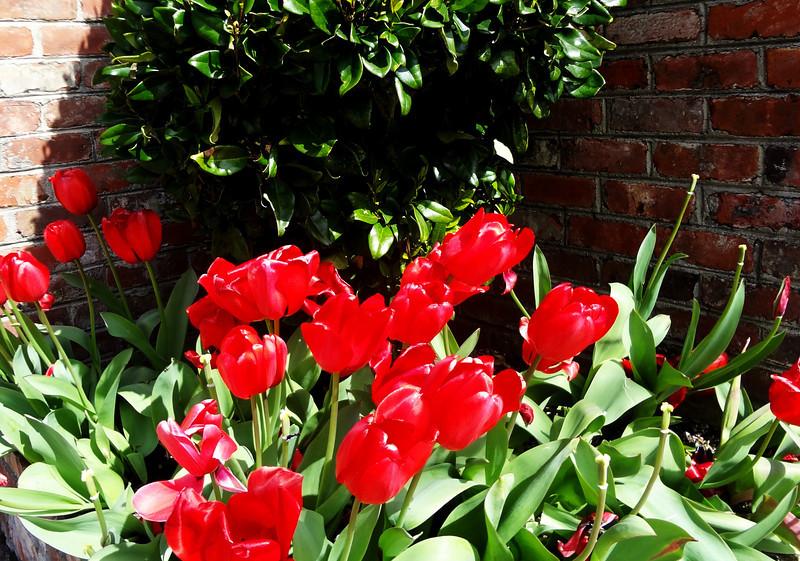 Tulips in San Francisco