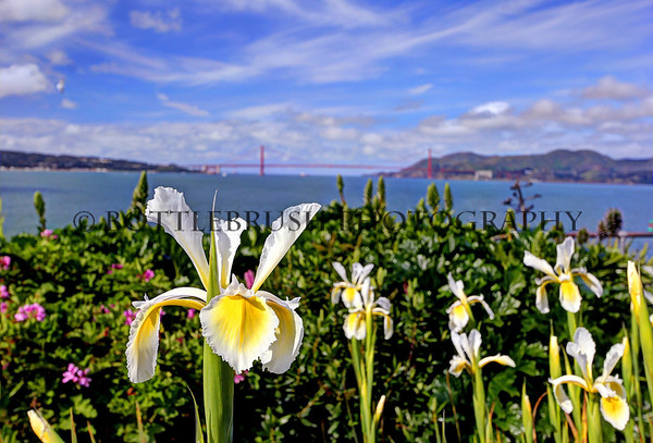 Flowers on Alcatraz with San Francisco Bay and the Golden Gate Bridge.
