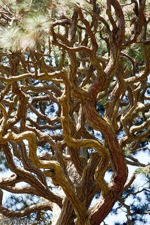 A Tree at Japanese Tea Garden - Golden Gate Park, San Francisco, CA, USA